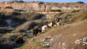 Cypryjskie dzikie kozy